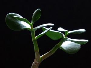 Kaktusy místo muškátů
