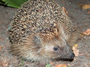 Pomáhejme ježkům: Jak je správně zazimovat?