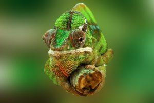 Zásady chovu chameleonů