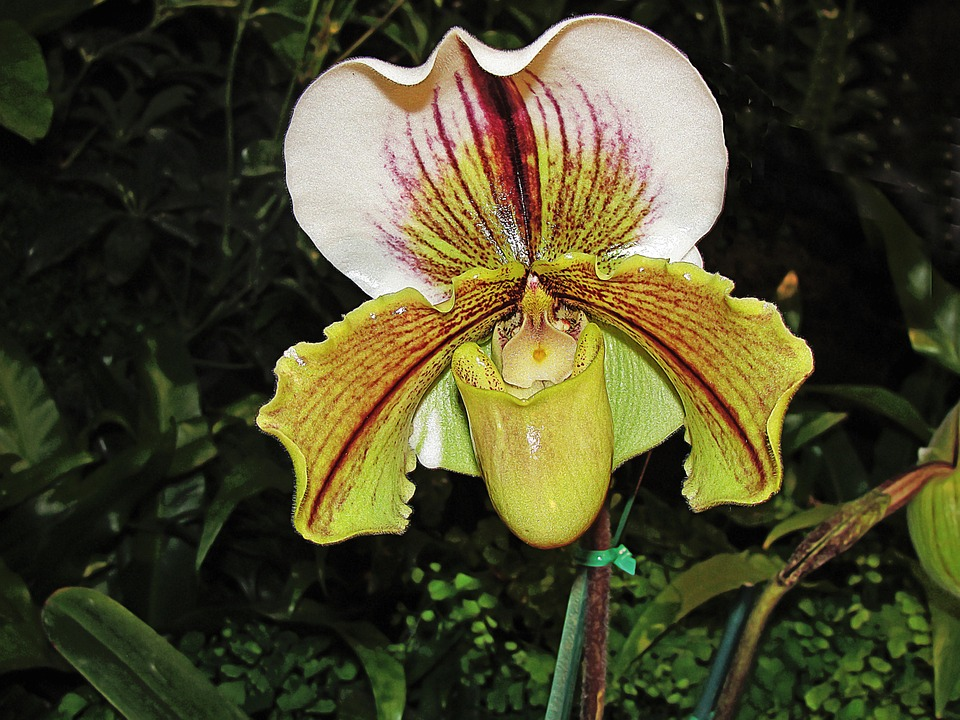 slipper-orchid-747790_960_720
